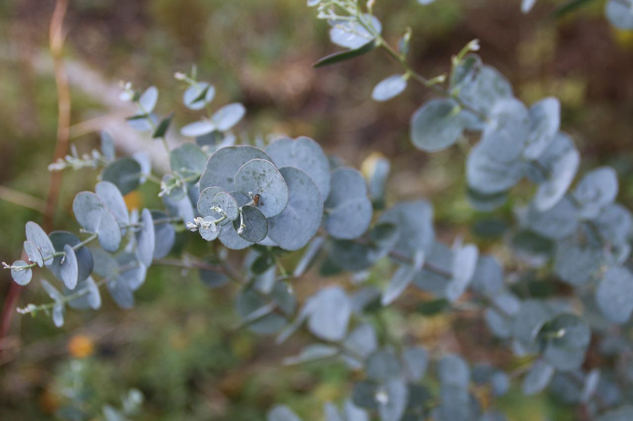 eukalyptus eterisk olja